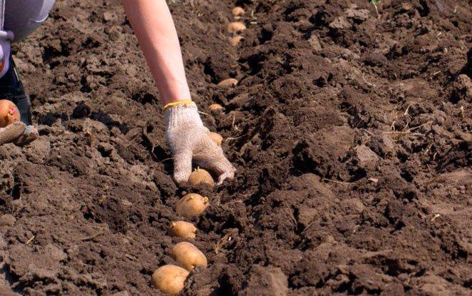 Картофель сажать под зиму 89