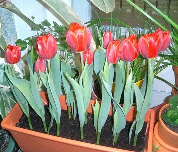 Технологія вигонки тюльпанів до 8 березня в домашніх умовах  терміни та  правила посадки цибулин f9972de0e4150