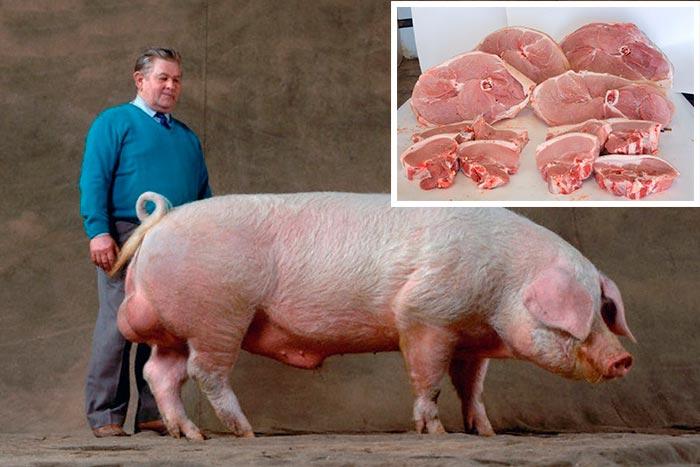 ткань используется фото какого цвета бывают свинья которые здесь происходят