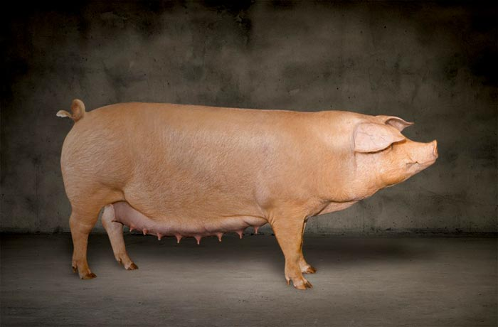 она картинки свиней ландрас такая выдалась